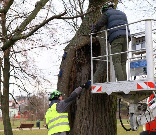 badania drzew