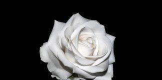 Biała róża na czarnym tle - źródło: Pixabay