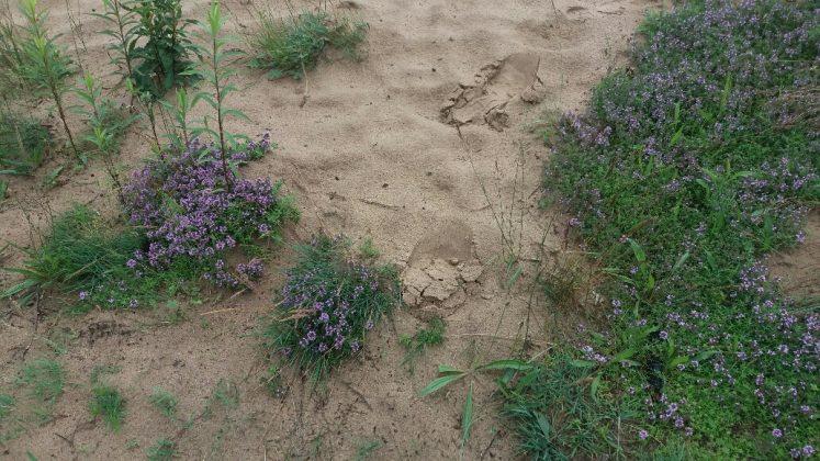 Macierznka piaskowa, szczotlicha siwa