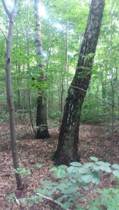 znakowanie drzew do wycinki w parku Redutowa, foto: Patrycja Zych