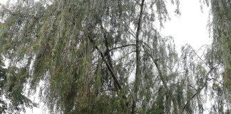 Puławska Szkolna złamane drzewo