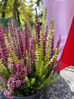 wrzosy w donniczce ustawione pod biało-czerwona flagą. wrzosy mają dwa odcienie zielony i fioletowy.