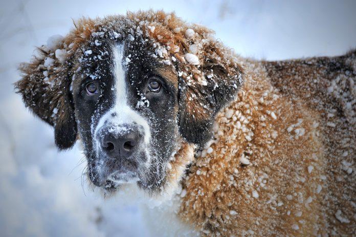Ilustracja. Zdjęcie psa w śniegu