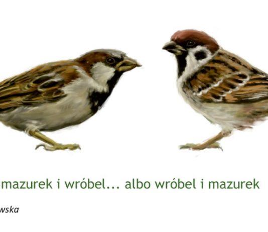 Ilustracja. Akcja liczenia wróbli i mazurków