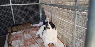"""Pies szukający nowego domu, obecnie w schronisku """"Na Paluchu"""""""