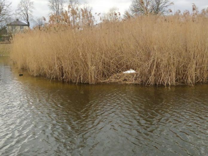 Gniazdo łabędzi na trzcinowisku w parkowym stawie, foto Łukasz Matyjasiak