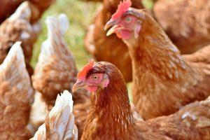 Ilustracja. Wysoce zjadliwa grypa ptaków (HPAI) na Mazowszu. Na zdjęciu kury.